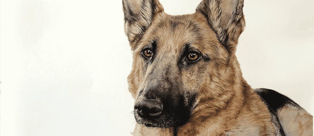 dog pencil drawing - full colour german shepherd portrait drawing
