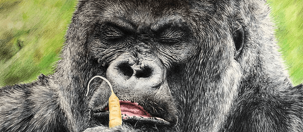 wildlife drawing - full colour wildlife drawing of lowland gorilla