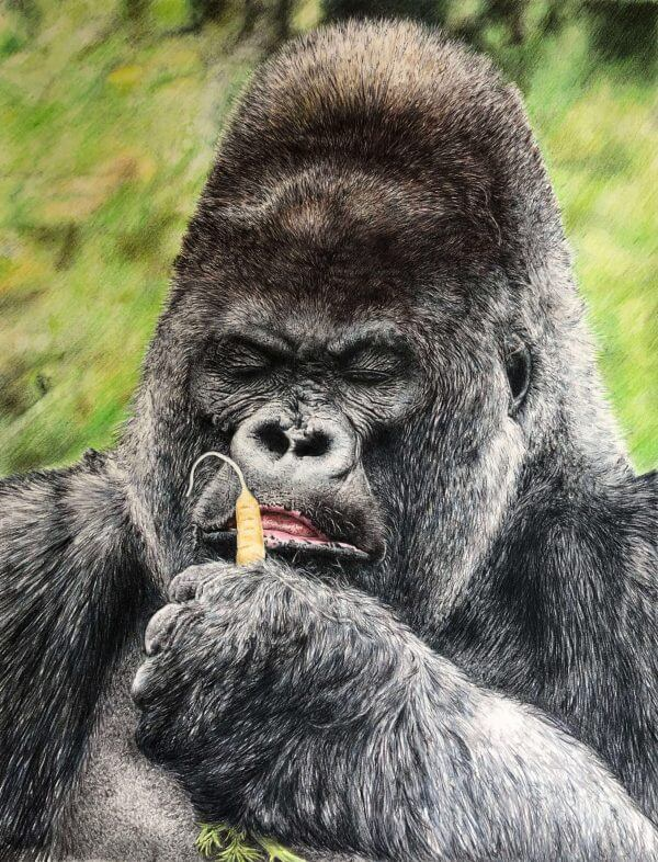 Nico the lowland gorilla full colour pencil crayon drawing