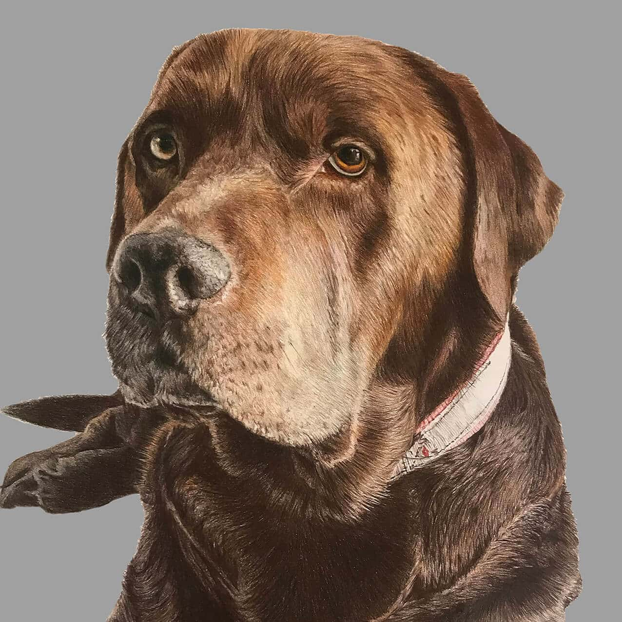brown labrador dog portrait drawing