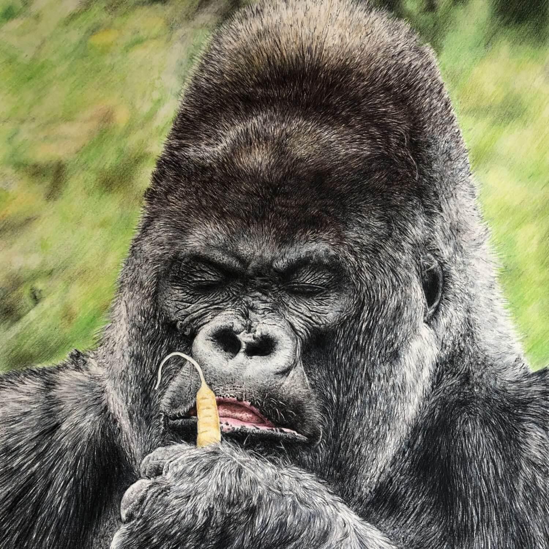 Full colour Wildlife pencil drawing of Nico the gorilla