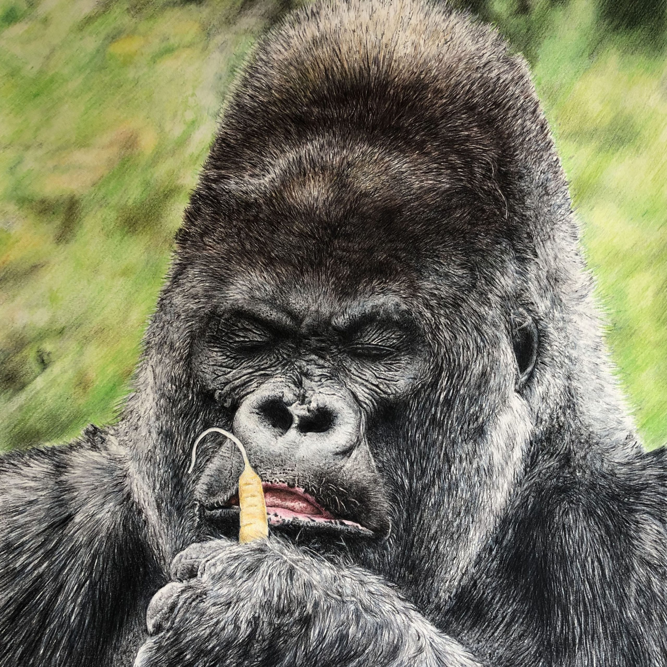Full colour Wildlife pencil drawing of Nico the gorilla