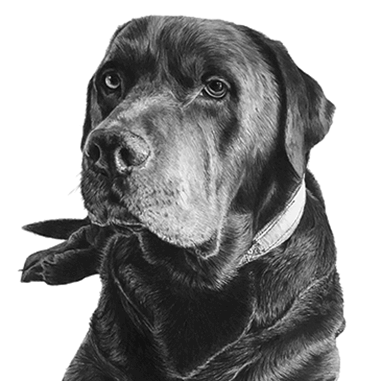 Drawing of labrador dog isolated