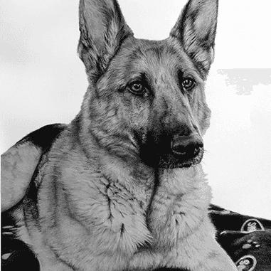 drawings of german shepherd dog