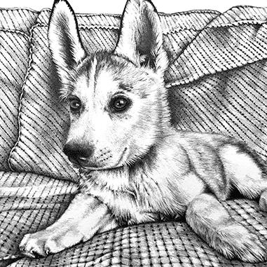 Pencil portrait of husky puppy