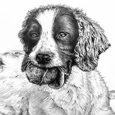 Springer spaniel pet portrait in pencil