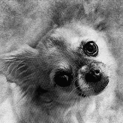 black and white dog portrait in pencil