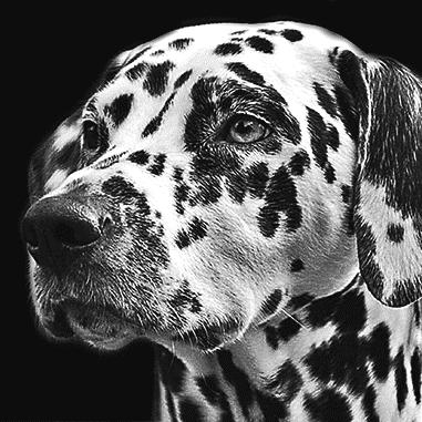 dalmation pencil portrait in black and white