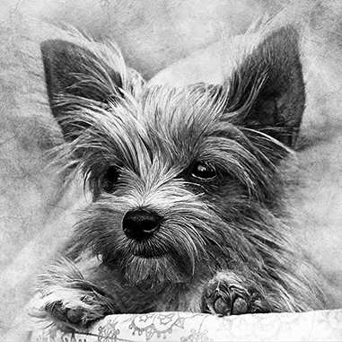 graphite pet portrait of yorkie terrier