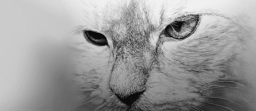 cat pencil portraits - black and white pencil drawing of white cat