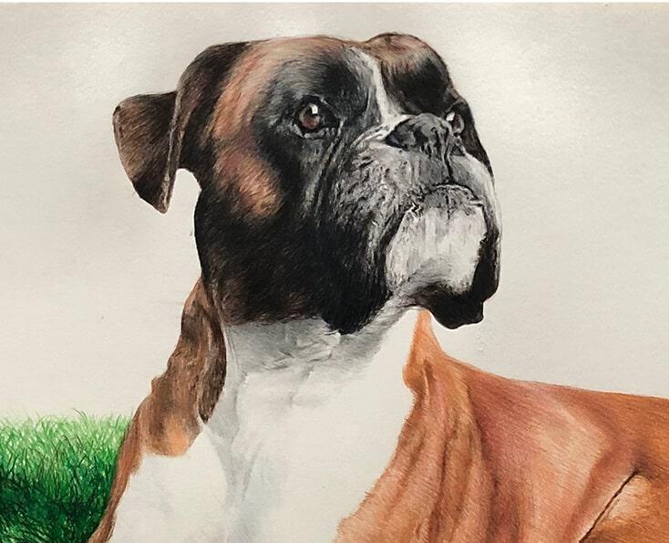 pet pencil portrait drawing - portrait close up of boxer dog drawing