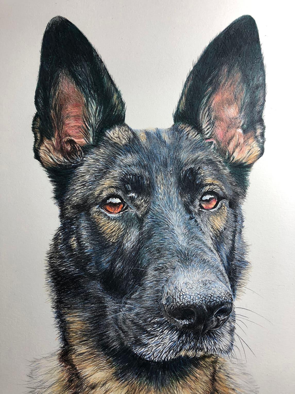pet pencil portrait drawing - German Shepherd in full colour pencil crayon